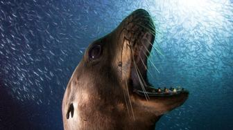 *** EXCLUSIVE ***  ESPIRITU SANTO, MX - JUNE 13: The big males don't like people being around their herd. They tend to charge with open mouths, showing their huge teeth, on June 13, 2015 in Espiritu Santo, Mexico.  A little sea lion gets up close and personal with the camera as an incredible swarm of sardines photobomb him. Shot on Espiritu Santo island, Mexico by wildlife photographer, Alejandro Prieto the breathtaking photos show a small group of sea lions sharing the same habitat as thousands of sardines. The fortunate photographer shot the amazing series of photos by scuba diving for over 6 hours a day. Sardines form large schools of up to a whopping 10 million individuals. These fishes make more than 4 miles long shoals that can be 1 mile wide and a hundred feet deep. Significant sardine shoals can even be visible by satellite.  PHOTOGRAPH BY Alejandro Prieto / Barcroft Images  London-T:+44 207 033 1031 E:hello@barcroftmedia.com - New York-T:+1 212 796 2458 E:hello@barcroftusa.com - New Delhi-T:+91 11 4053 2429 E:hello@barcroftindia.com  www.barcroftimages.com (Photo credit should read Alejandro Prieto / Barcroft Imag / Barcroft Media via Getty Images)