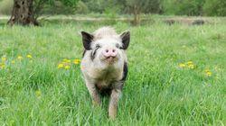 Έγινε viral: Θαρραλέο γουρούνι σώζει «φίλο» του λίγο πριν τη