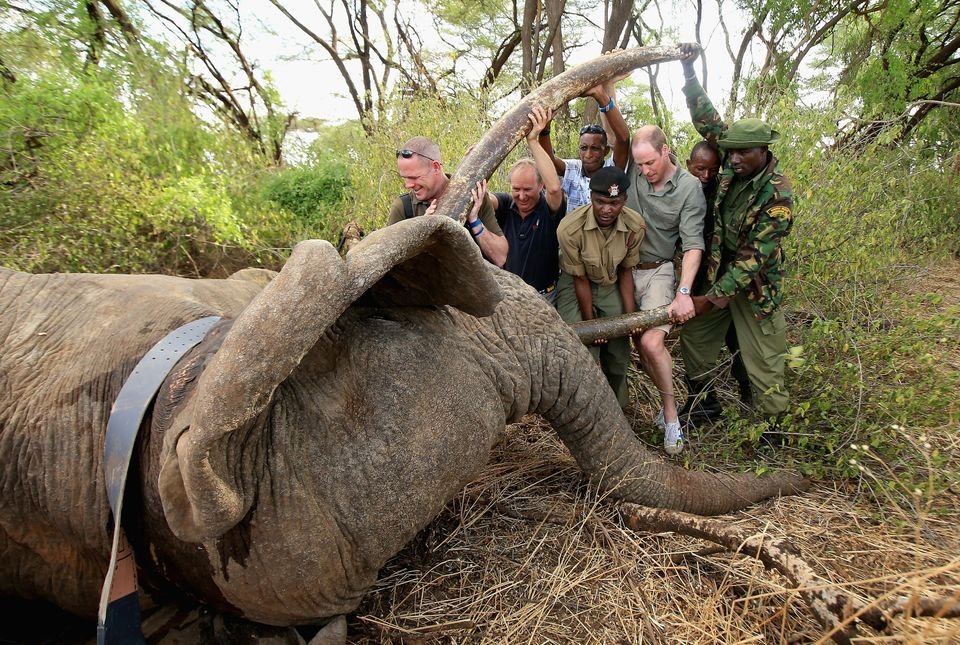 Prince William is photographed by Chris Jackson helping rangers in northern Kenya to move a tranquilised...