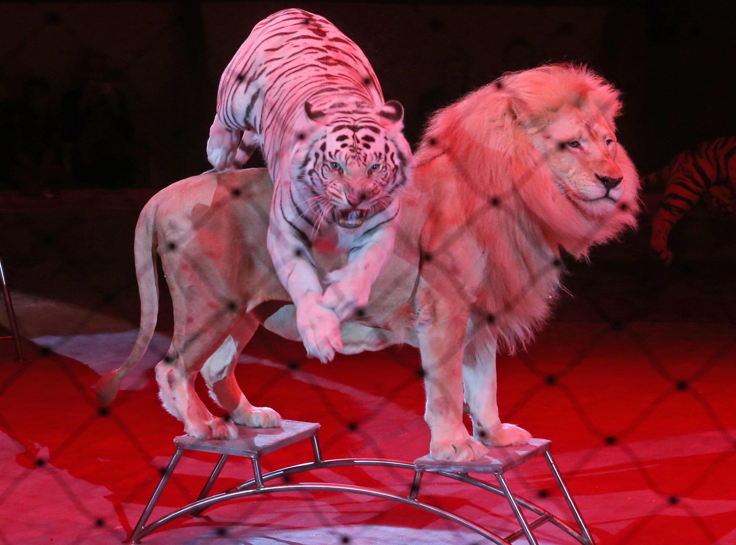 Λιοντάρι και τίγρης επιτίθενται σε άλογο. Η απόδειξη ότι τα ζώα δεν θα πρέπει να αιχμαλωτίζονται σε