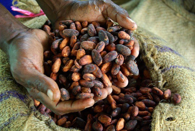 Cocoa farmer David Kebu Jnr holding dried cocoa beans.