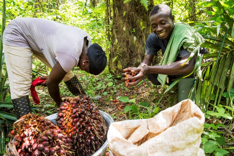 Serendipalm aims to integrate oil palm and cocoa with other crops to establish diverse and resilient agroforestry system.