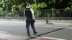 A Wallaby Hopped Across Sydney Harbour Bridge Through