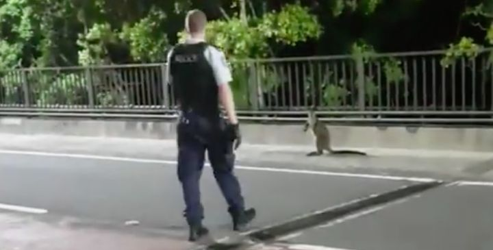 Awayward wallaby was captured by police early on Tuesday after bounding across the iconic Sydney Harbour Bridge.