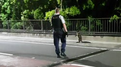 Wayward Wallaby Flees Police Over Sydney Harbour