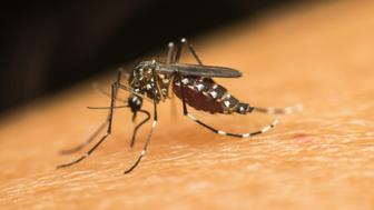Macro of mosquito (Aedes aegypti) sucking blood close up on the human skin. Mosquito is carrier of Malaria; Encephalitis; Dengue and Zika virus