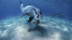 Χταπόδι έπνιξε δελφίνι που το έτρωγε. Γιατί ο περίεργος θάνατος απασχολεί τους