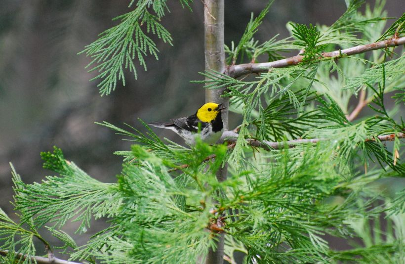 Hermit Warblers are among the species included in a new study of how migratory birds are singing at different times of the ye