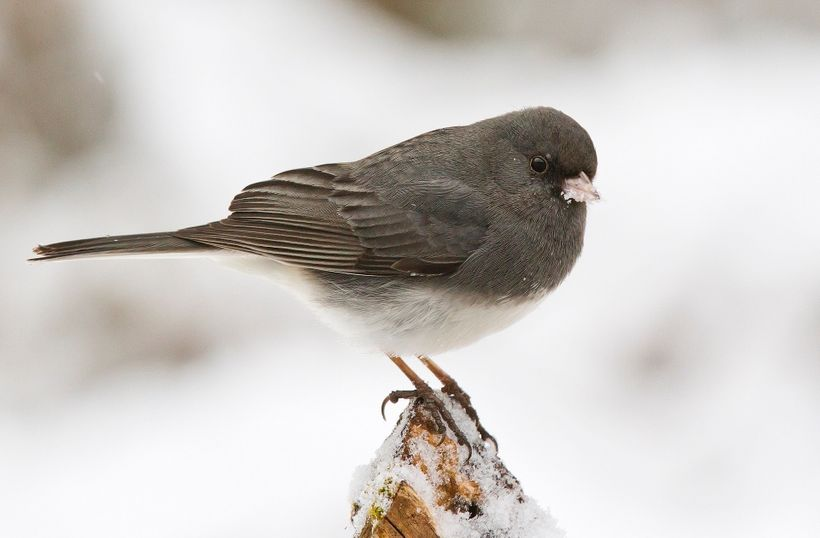 The dark-eyed junco, another species studied by McGrann.