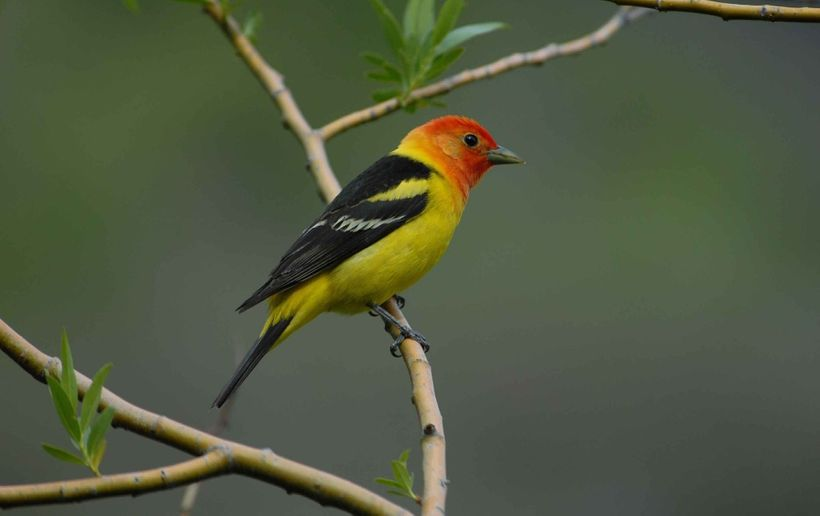 McGrann and his team studied the songs of the western tanager, seen here.