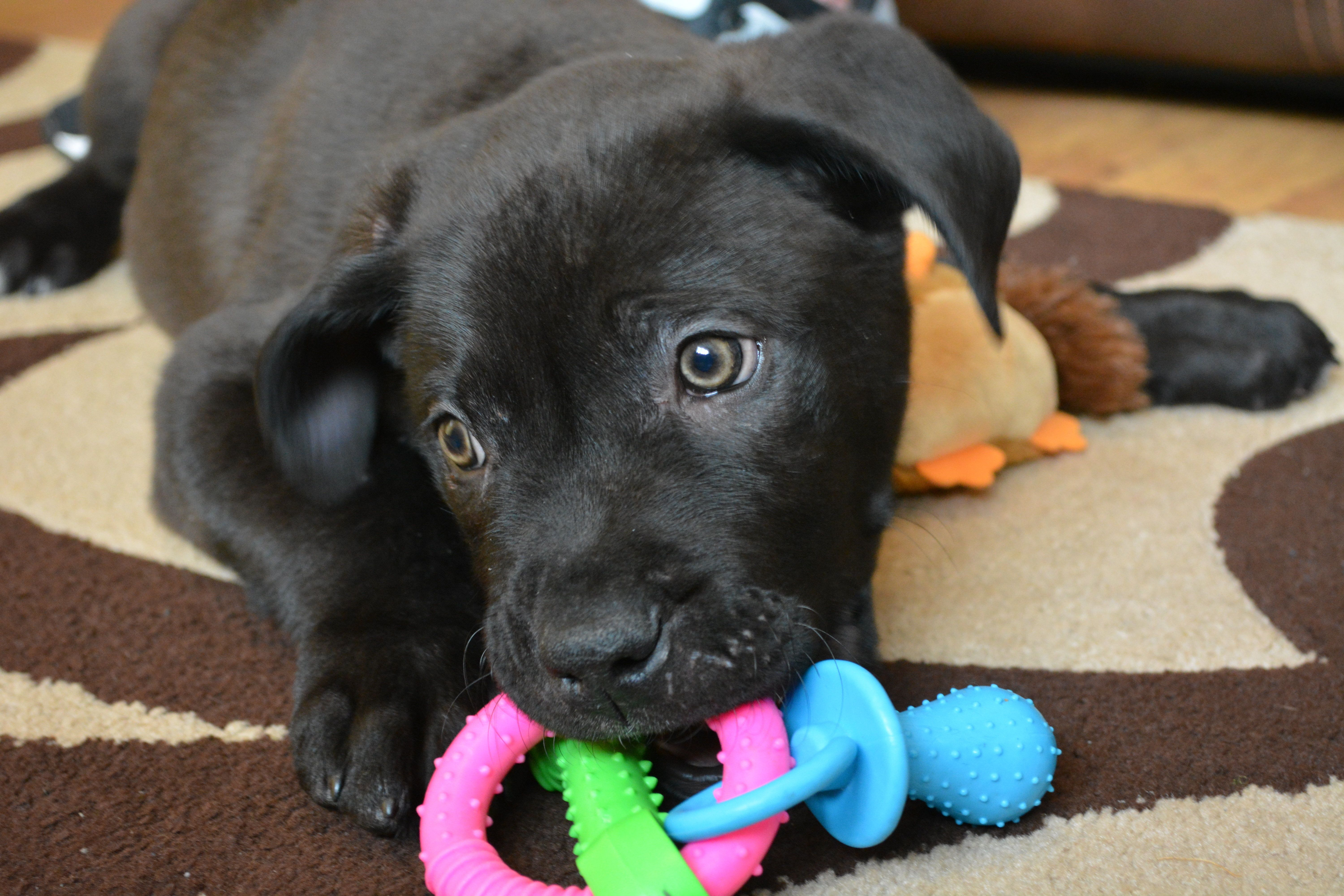 Ronnie The First Puppy To Be Handed In At Battersea After Christmas Finds New