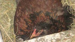 Bauer denkt, seine Henne hätte ein Ei gelegt – dann sieht er sich die Sache genauer an