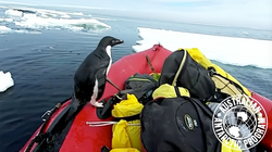 Pop-Up Penguin Surprises Antarctic