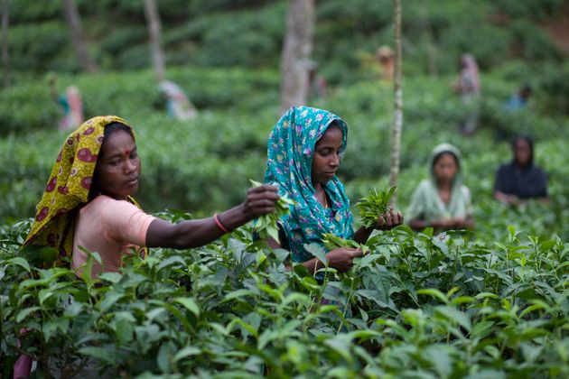 Workers pluck tea leaves in Sylhet,