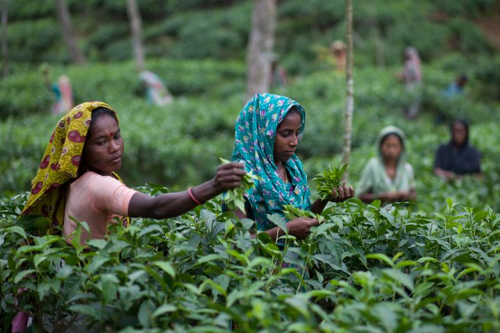 <strong>Workers pluck tea leaves in Sylhet, Bangladesh.</strong>