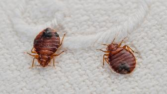 Bedbugs (Cimex lectularius) an haematophagous species in progression worldwide attacking people in their beds at night