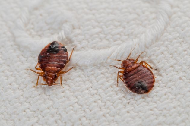 Here's Why People Say 'Don't Let The Bedbugs Bite'   HuffPost