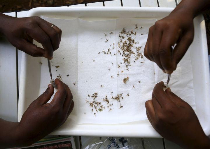 Researchers from the Uganda Virus Research Institute sort out samples of mosquitoes collected from the Zika Forest in Entebbe