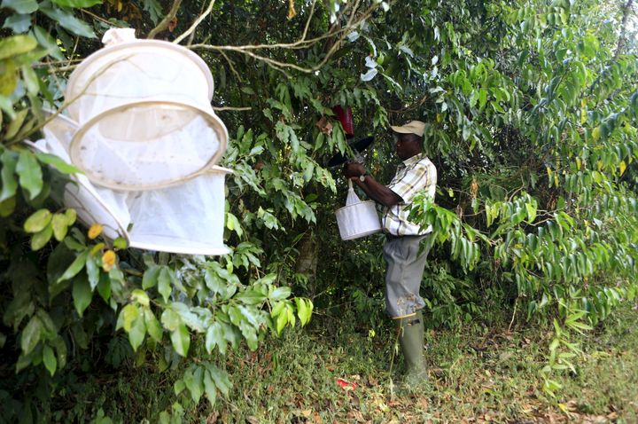 A researcher from the UVRI collects insect traps at the Zika Forest.