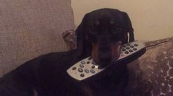 Cheeky Dachshund Is A Master Thief And The Photos Are