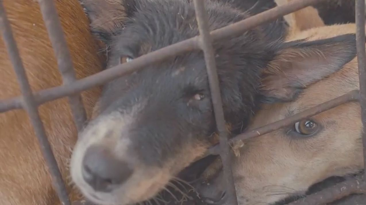 Shocking Footage Released Of Dog Meat 'Extreme Market' In