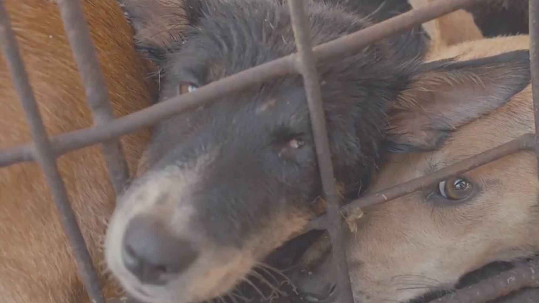 Activists Film 'Extreme Market' In Indonesia To Denounce Dog Meat