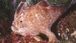 Αυστραλία: Νέος πληθυσμός από τα σπανιότερα ψάρια του κόσμου εντοπίστηκε στις ακτές της