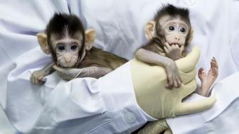 BEIJING, Jan. 25, 2018  -- Two cloned macaques named Zhong Zhong and Hua Hua are held by a nurse at the non-human-primate research facility under the Chinese Academy of Sciences (CAS) on Jan. 22, 2018. China on Thursday announced it successfully cloned world's first macaques from somatic cells by method that made Dolly. (Xinhua/Jin Liwang via Getty Images)