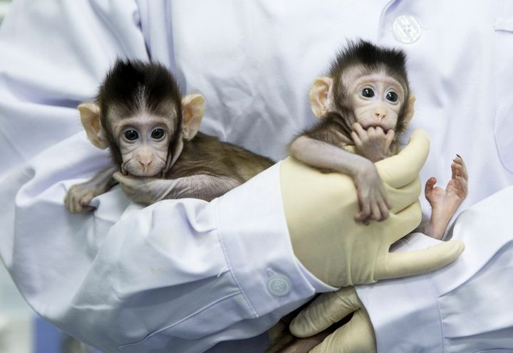 Zhong Zhong and Hua Hua, two cloned long tailed macaque monkeys are seen at the non-human-primate facility at the Chinese Aca