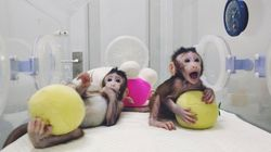 Two Monkeys Have Become The First To Be Cloned Using The Same Method As