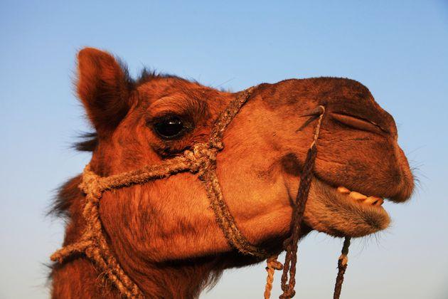 Αποκλείστηκαν καμήλες από διαγωνισμό ομορφιάς στη Σ. Αραβία λόγω