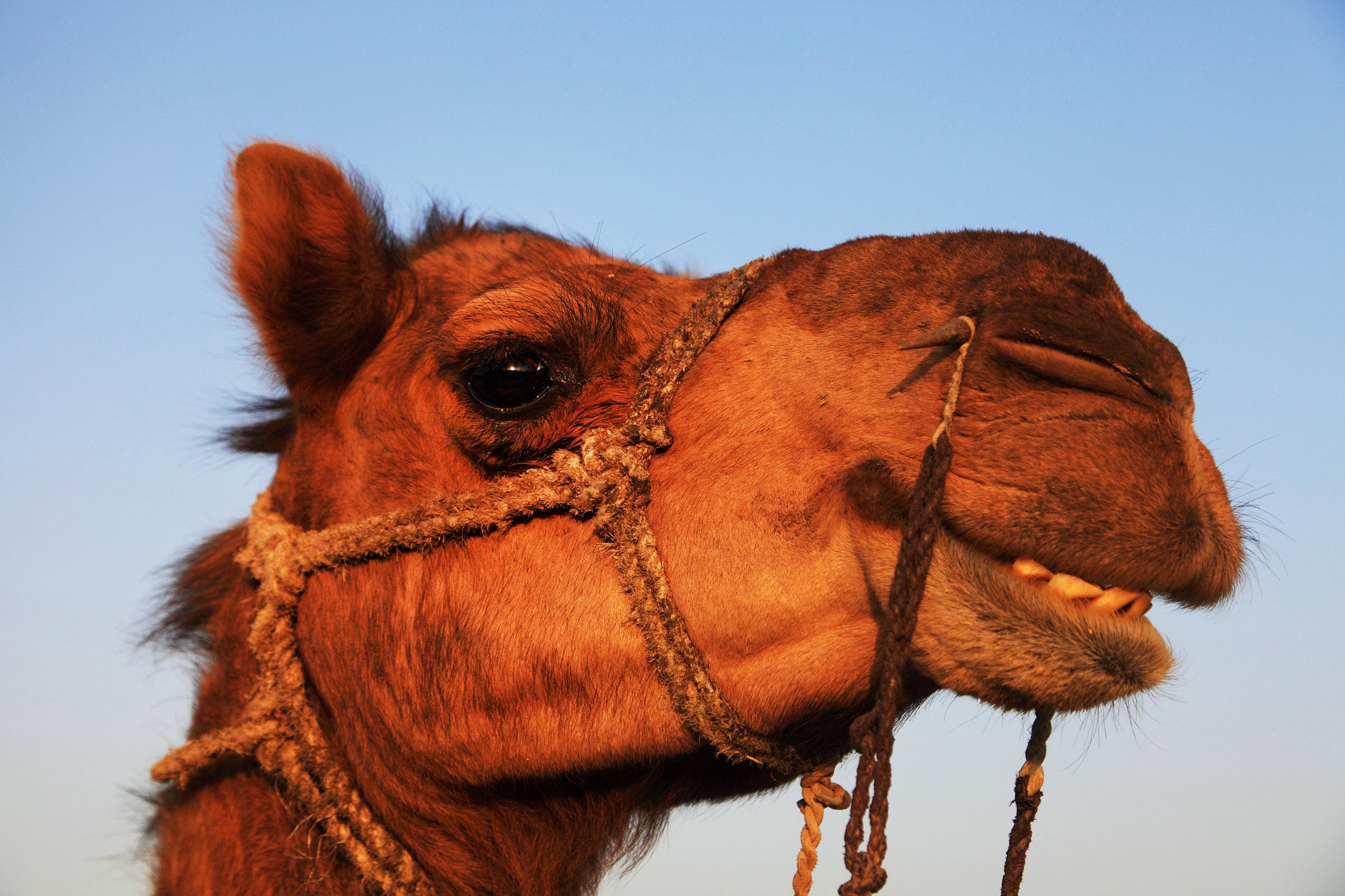 Αποκλείστηκαν καμήλες από διαγωνισμό ομορφιάς στη Σαουδική Αραβία λόγω