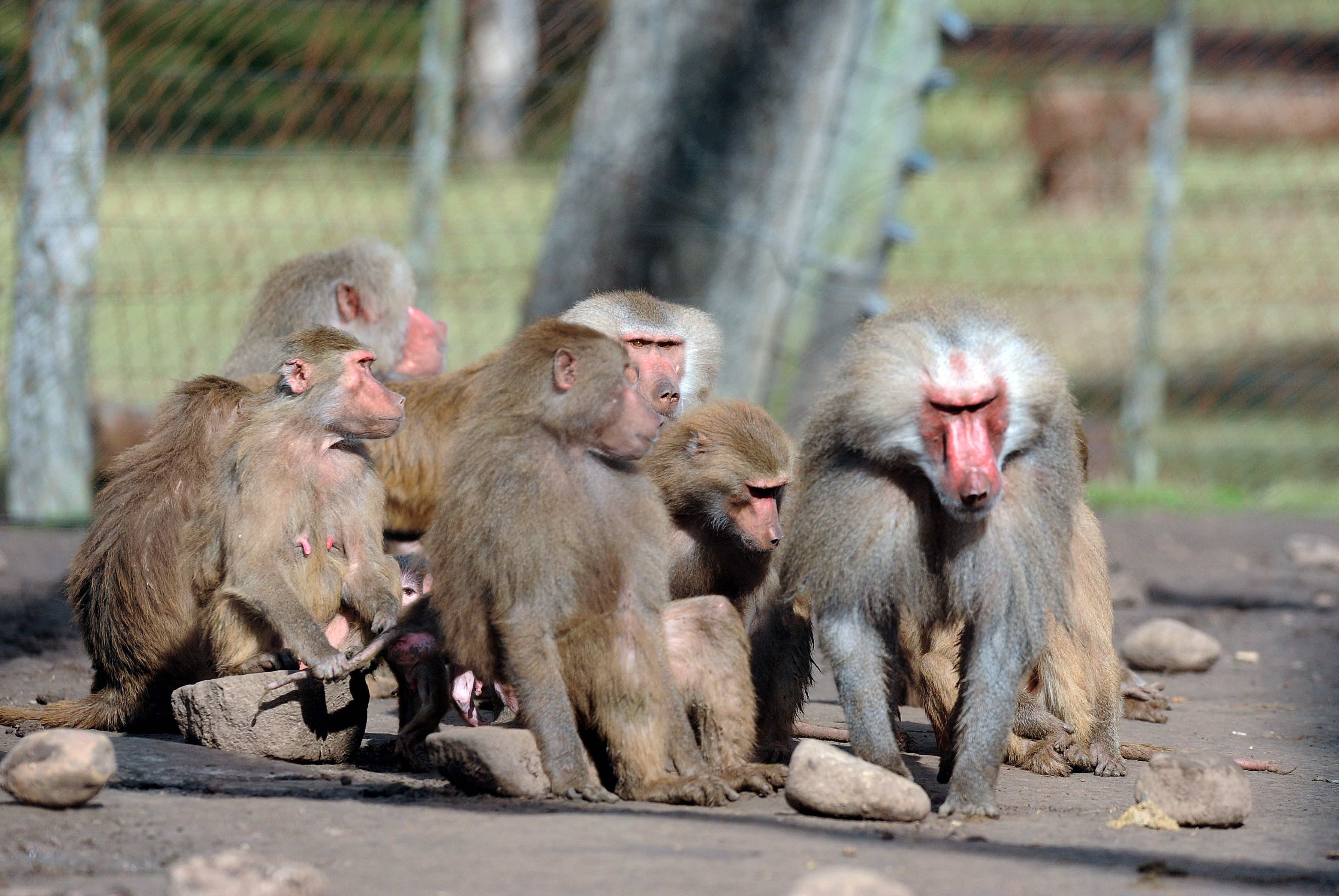Panic as 52 baboons escape from their enclosure at Paris zoo