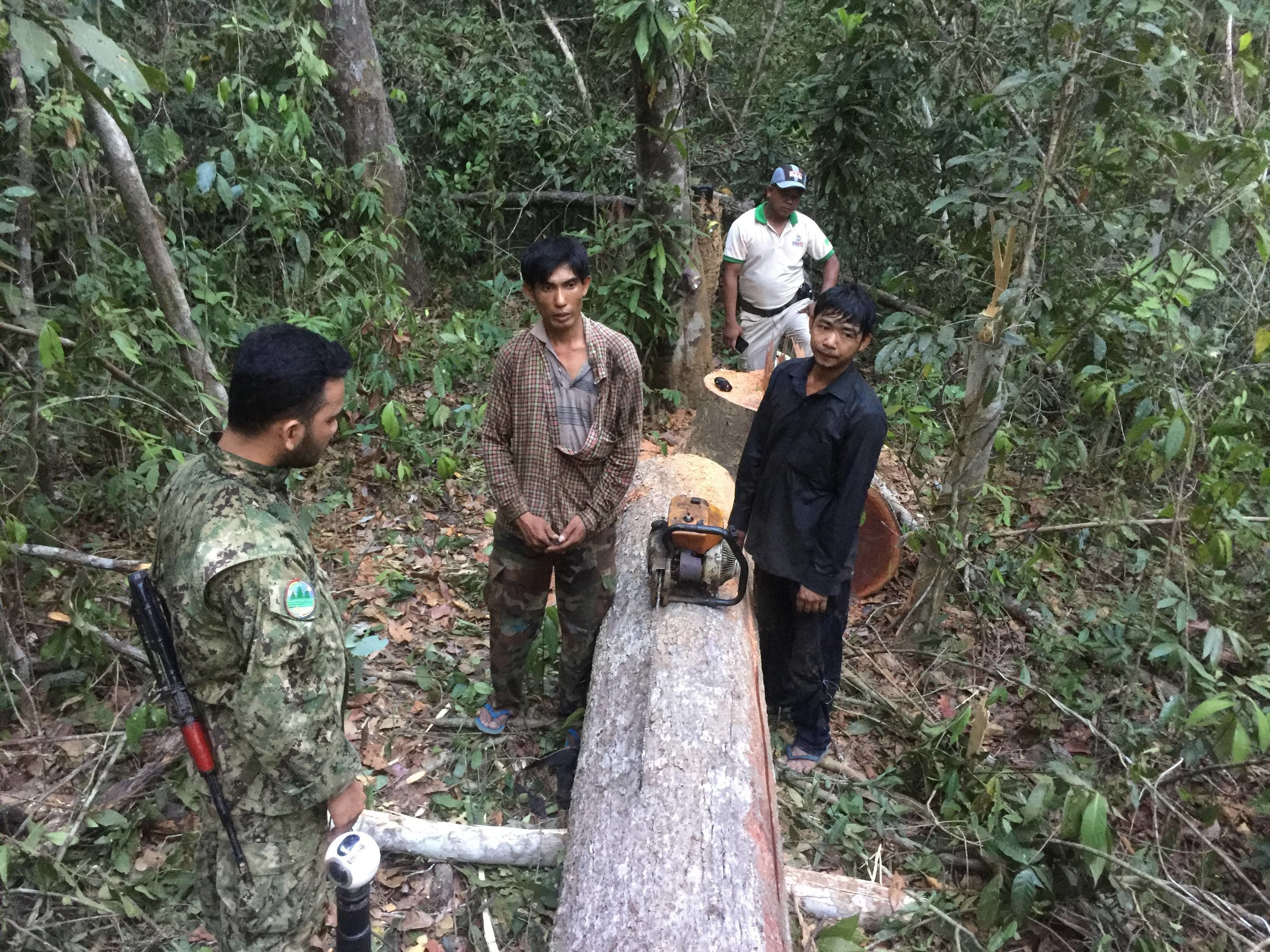 PLCN patrollers catch illegal loggers cutting down trees in the Prey Lang.