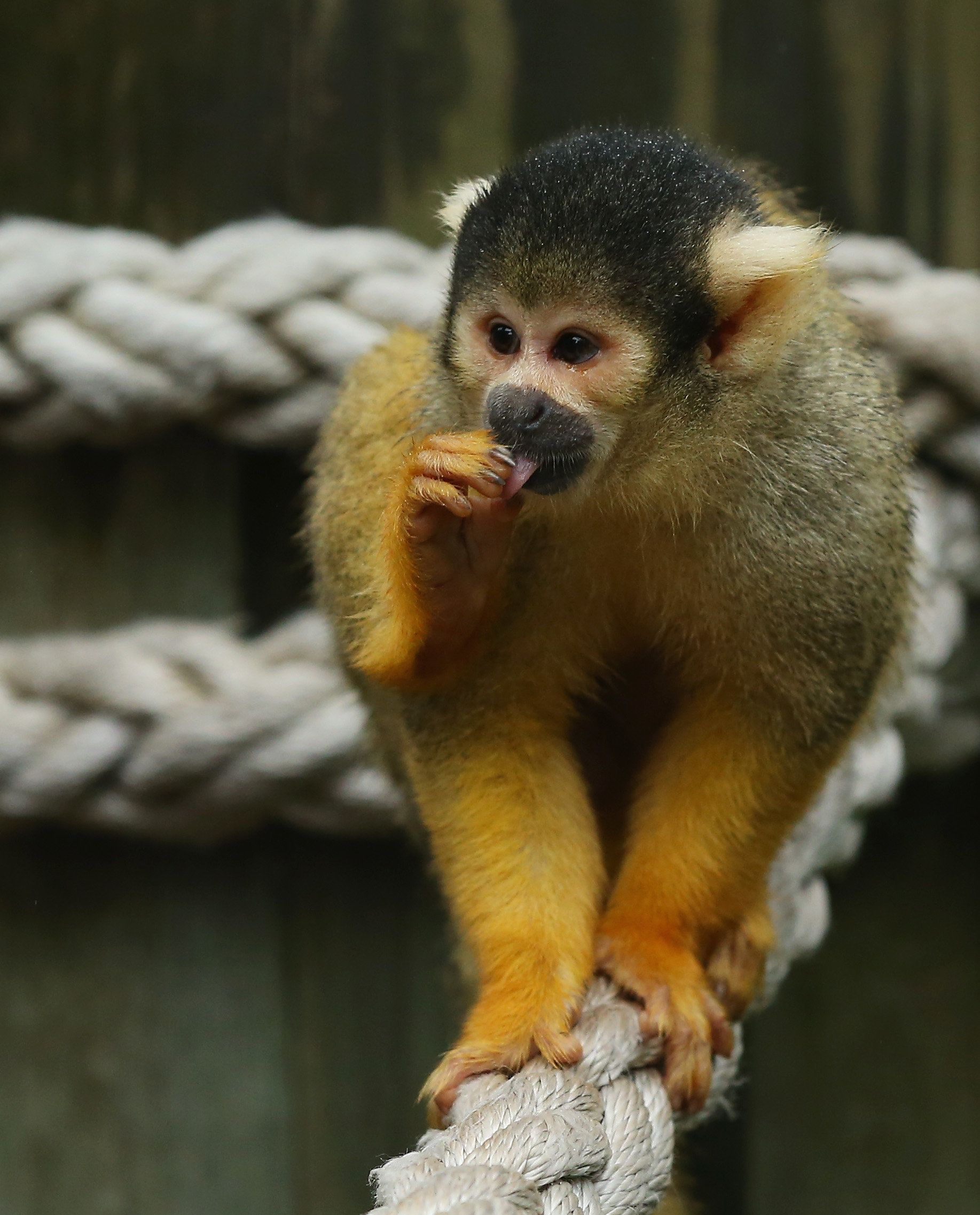 SYDNEY, AUSTRALIA - DECEMBER 15:  A squirrel monkey is seen eating inside its enclosure at Taronga Zoo on December 15, 2016 in Sydney, Australia. The new immersive exhibit allows zoo visitors to observe the Squirrel Monkeys closer than ever before.  (Photo by Don Arnold/WireImage)