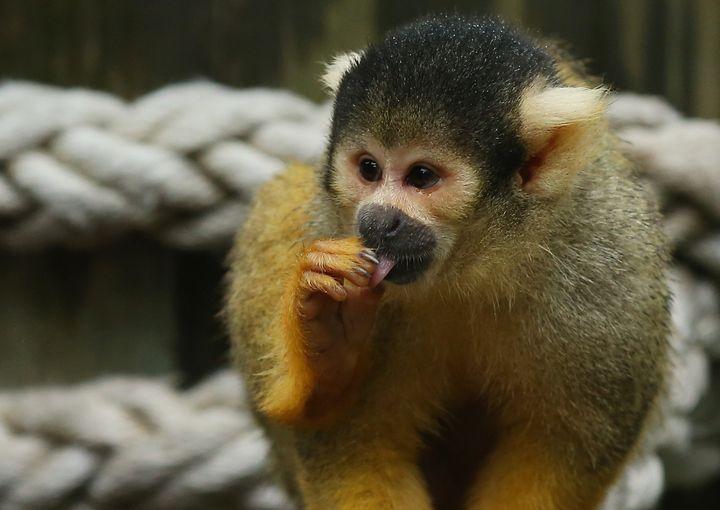 A squirrel monkey at the Taronga Zoo in Sydney, Australia.