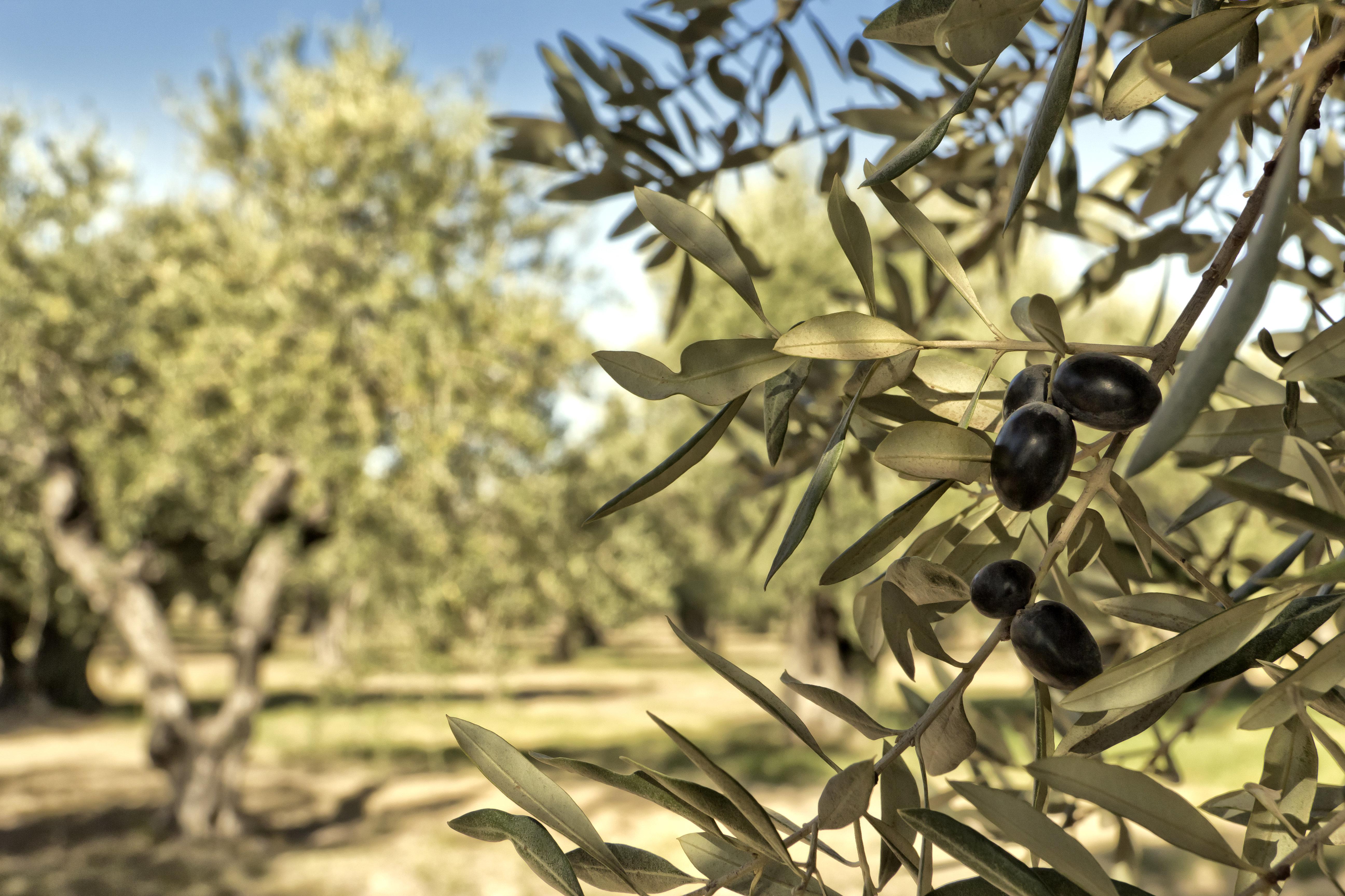 Κι όμως, η ελληνική ελιά θα κατακτήσει επιτέλους τη διεθνή