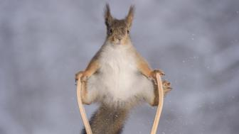 """Let the Winter Games begin!  These hilarious images show red squirrels preparing for February's Winter Olympics (starts 9 Feb).  Mini skis, a snowboard and even a tiny winner's podium feature.  Photographer Geert Weggen captured the funny scenes after setting up especially purchased props outside his forest-based home in Sweden.  The 48-year-old from Bispgarden uses a mini outdoor studio with an open roof which is attached to a window of his forest-located house. He finds the lure of nuts helps attract the squirrels into unwittingly humourous poses.  He explains: """"These photos I captured in the last four months. We already had snow in October here in the middle of Sweden, so I could create some winter sports pictures. The winter squirrel games is a funny, but difficult theme. There is not much light and although they visit my garden daily they are there only for a short period during the day. Many scenes have therefore taken me many days to complete. It gives me satisfaction and happiness when I capture in the end the moment I am looking after. And these wild squirrels are always happy as long there is food to be found.""""  Where: Bispgarden, Sweden When: 30 Nov 2017 Credit: Geert Weggen/Cover Images  **MANDATORY CREDIT: Geert Weggen/Cover Images  Only for use in this story. Editorial Use Only. No stock, books, advertising or merchandising without photographer's permission  VIDEO AVAILABLE: info@cover-images.com**"""