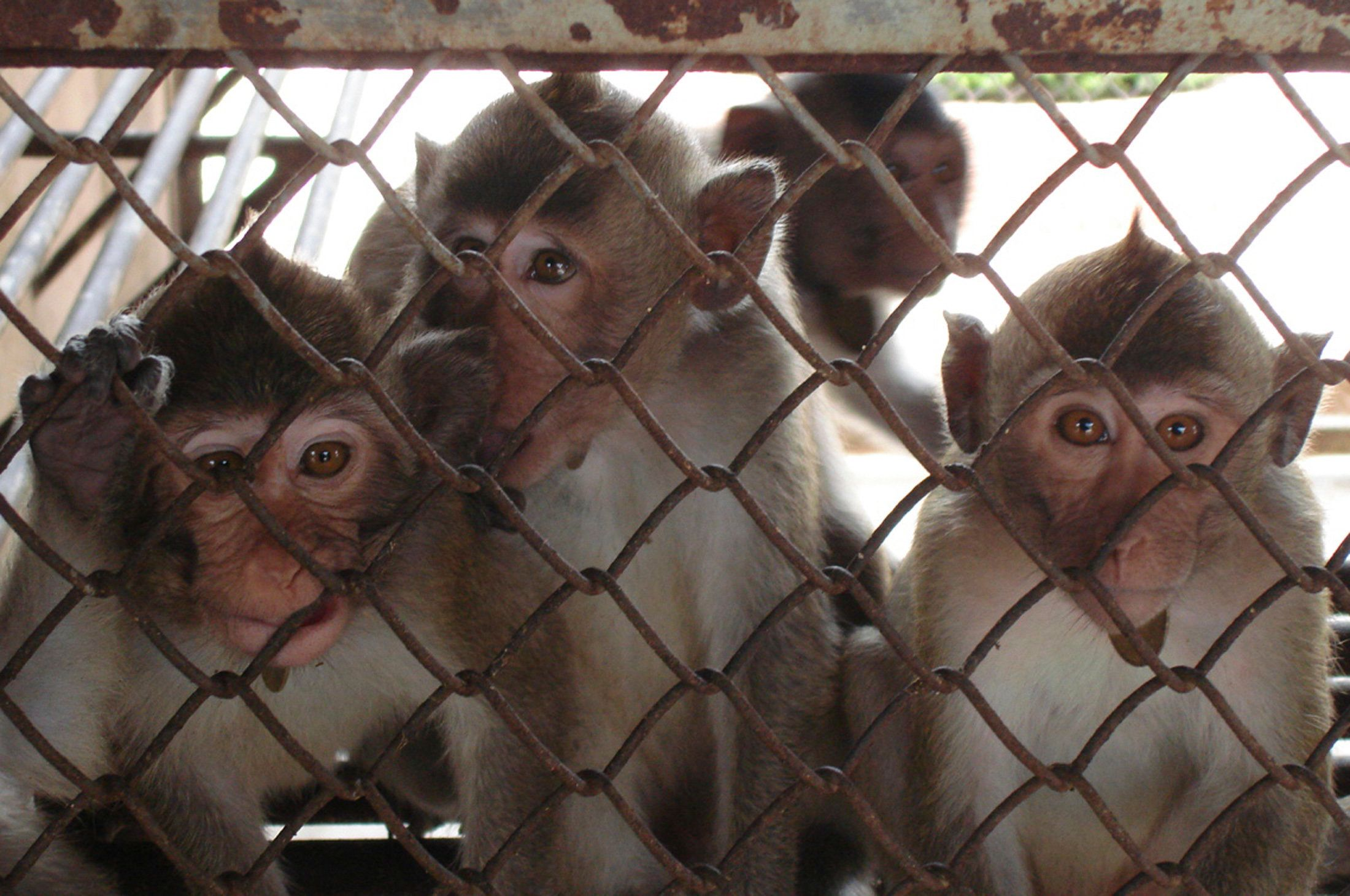 A undated handout picture taken recently by the British Union for the Abolition of Vivisection (BUAV) shows monkeys kept at Vanny Bio-Research in the Srok Kean Svay district in Cambodia. An animal rights group says Cambodia is flouting international conventions by allowing the cruel capture of monkeys for research in the United States and China. A report to be released on November 24, 2008 by the BUAV says thousands of long-tailed macaque monkeys are taken from the wild each year and kept in cruel conditions before being exported.  REUTERS/BUAV/Handout (CAMBODIA).  FOR EDITORIAL USE ONLY. NOT FOR SALE FOR MARKETING OR ADVERTISING CAMPAIGNS.