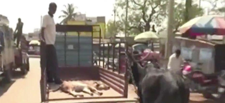 Eine Kuh rennt einem Laster hinterher, weil auf der Ladefläche ihr verletztes Kalb