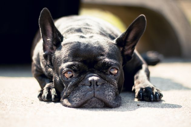 7 French Bulldogs Handed In To Mayhew Shelter In A Month, What To Know Before You Buy