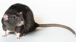 흑사병은 쥐가 퍼뜨린 게