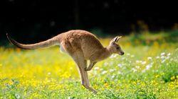 Αυστραλία: Καγκουρό χοροπηδάει πάνω σε ανυποψίαστη
