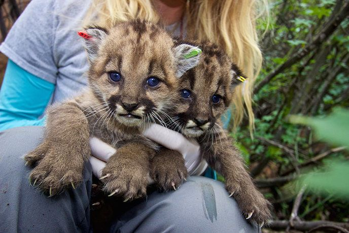 P-23's kittens from her first litter, P-36 and P-37, were later attacked and eaten by an adult male mountain lion in 2015.