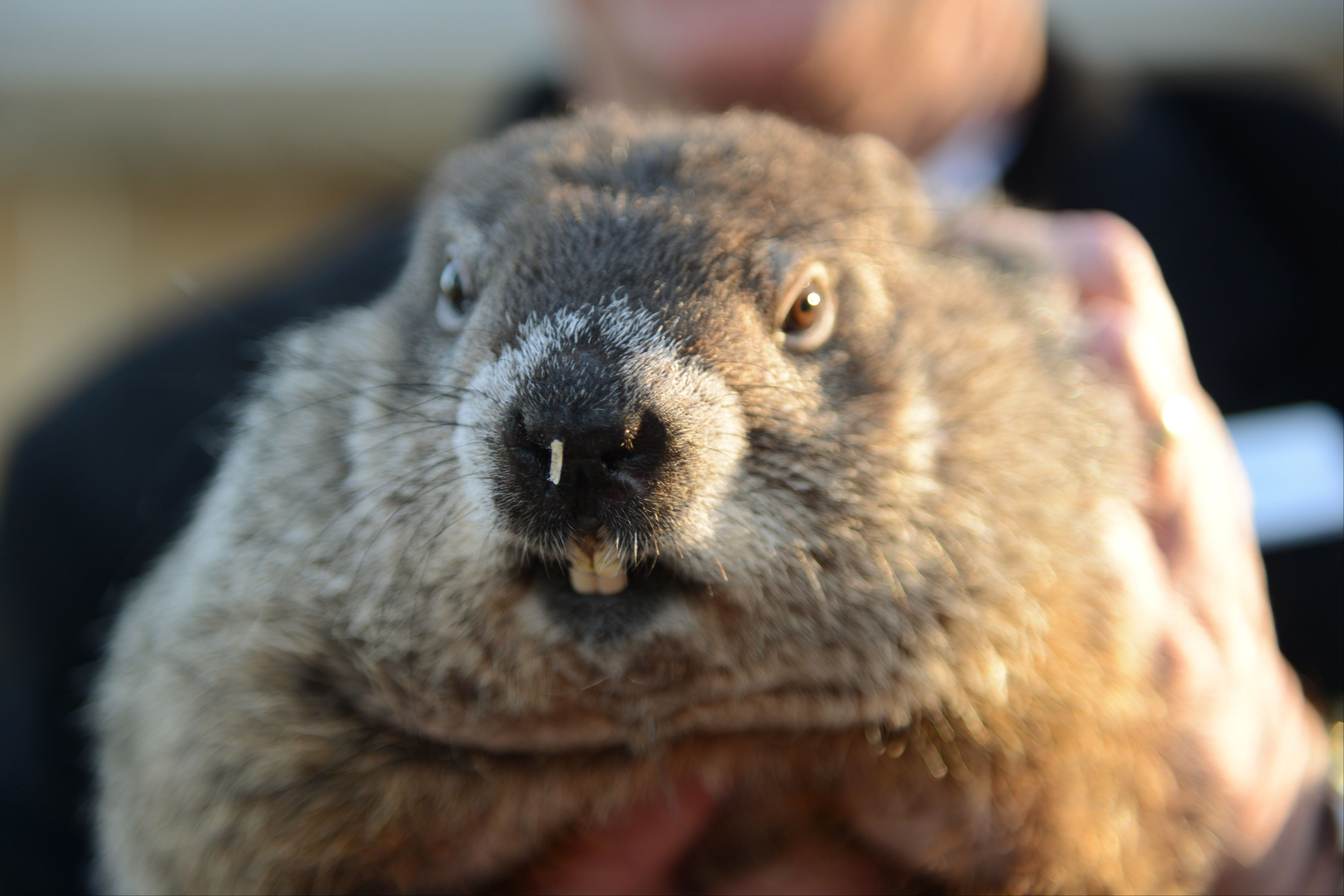Groundhog co-handler Ron Ploucha holds up groundhog Punxsutawney Phil after Phil's annual weather prediction on Gobbler's Knob on the 130th Groundhog Day in Punxsutawney, Pennsylvania February 2, 2016. Punxsutawney Phil, a famed U.S. groundhog with an even more famous shadow, emerged from his burrow on Tuesday and predicted an early spring. REUTERS/Alan Freed