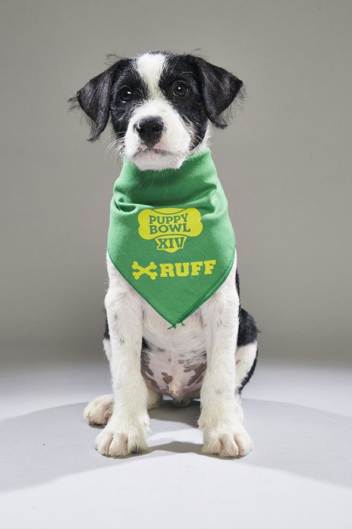 """Archer, now known as Maddox, is slated as a <a href=""""http://www.animalplanet.com/tv-shows/puppy-bowl/photos/puppy-bowl-xiv-ba"""