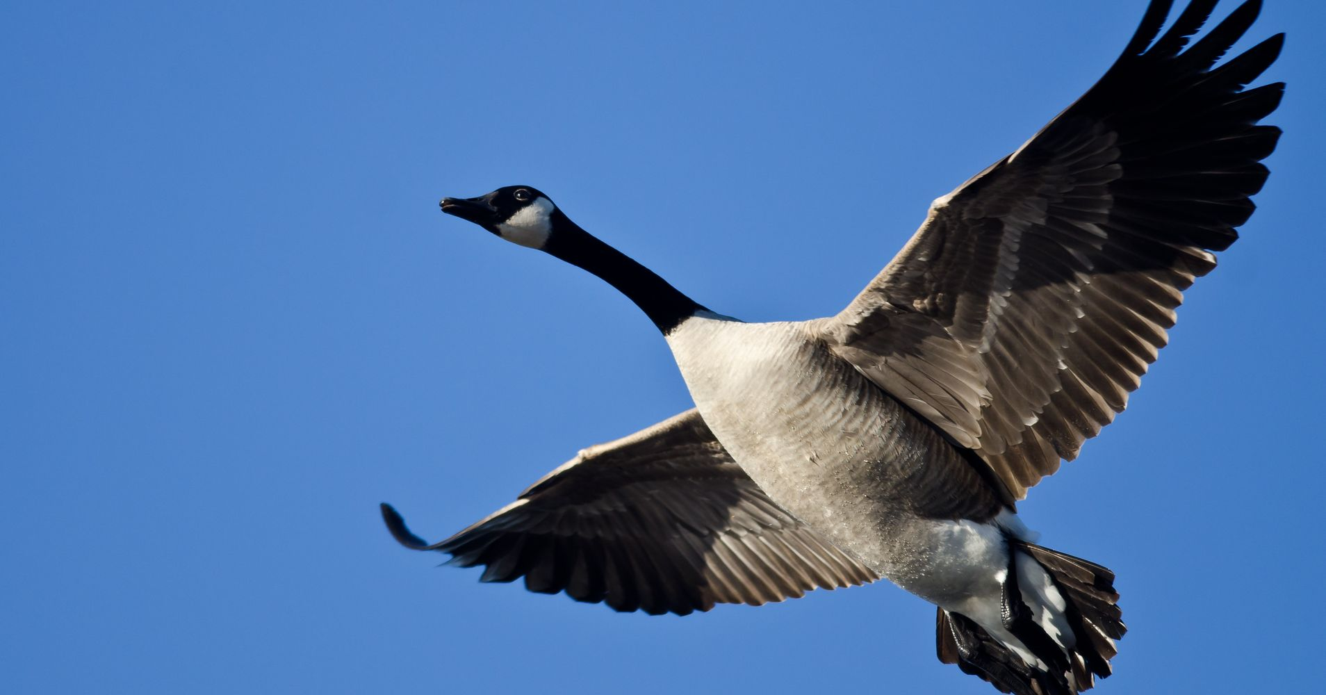 goose hunter knocked unconscious by dead bird falling from sky