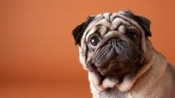 Almost One In Three Pugs Struggle To Walk