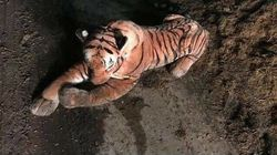 45-Minute Farm Standoff Ends When Cops Realize Tiger Is