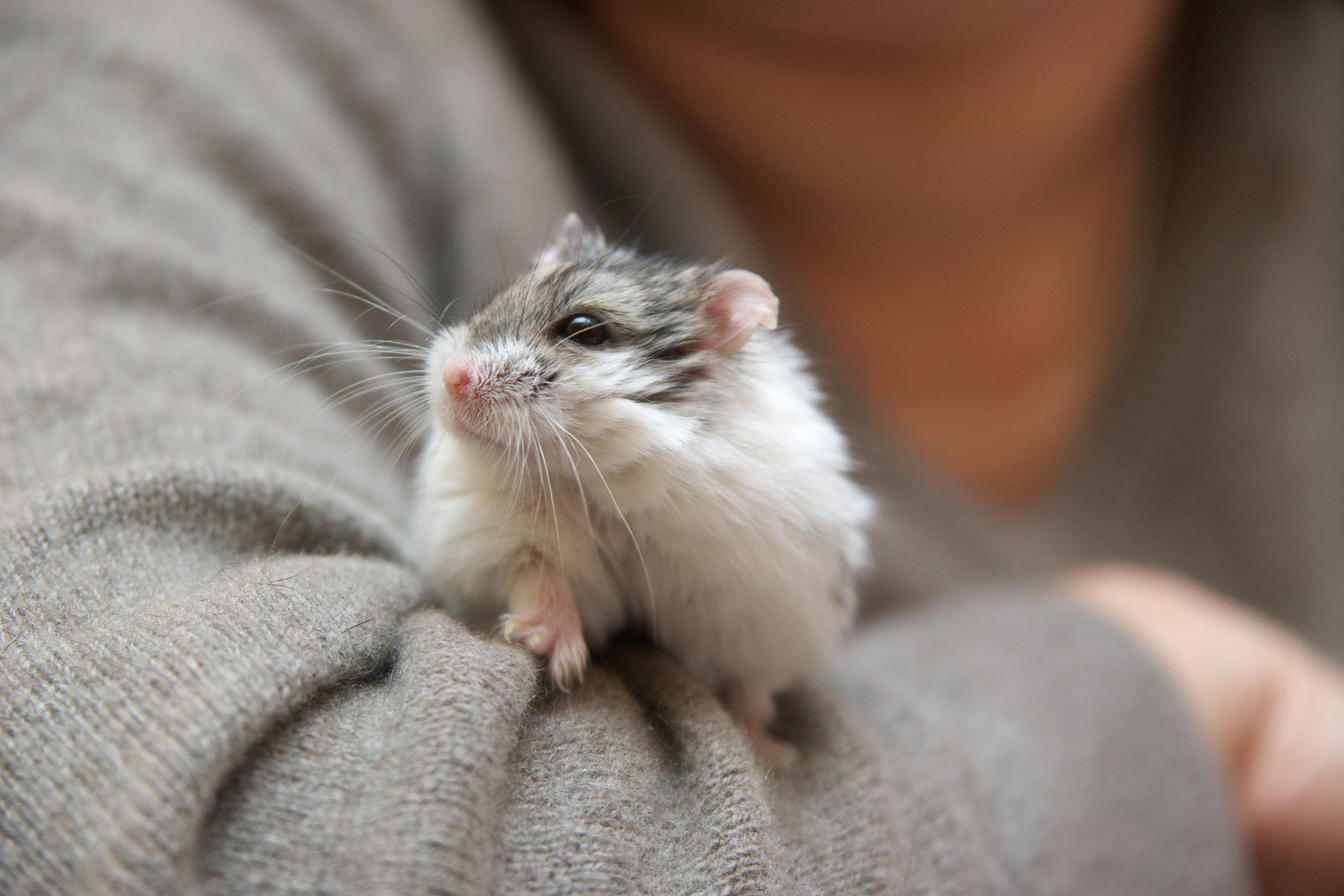 Studentin spült Hamster im Klo runter